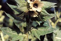 Hyoscyamus niger / Bulmeurt, Devil's eyes, Black henbane, Witches Herb