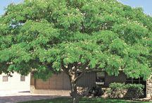 Desert Trees / Landscape Trees for a Desert Yard