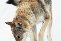 Wolves, wolfdogs and huskies / This is about various types of wolves and wolfdogs, with some facts about them.