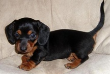 Doxielicious!~ All things Dachshund! / All things Dachshund! or Badger Hunter as the name means....I have my own black & tan doxie named Mi Vida Loca..or Vida as we call her I ♡ doxies!!! / by Jenni Espinosa  (Creepycupcake)