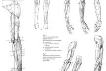 Anatomy ✤ Arms