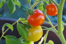 Tasty Tomatoes / Tips & tricks for growing the best tomatoes in your home garden.