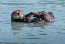 Otter Love / Sea otters are the smallest marine mammal, and arguably the cutest! These playful creatures can be seen on Major Marine Tours cruises into Kenai Fjords National Park and Prince William Sound.