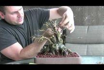 Bonsai video
