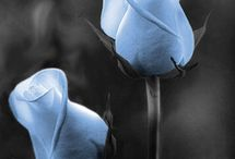 Roses ❤❤