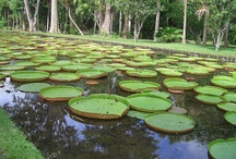 water lillies / by Laura Denney-Lawson