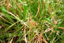 Fungus and Lawns / Fungus, fungal diseases and mushrooms found on lawns