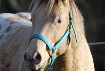 Pony / Krü, an amber champage Appaloosa