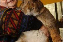 Kaninchen giant