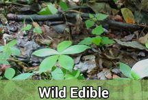 Survival   Wild Edibles / When it comes to wilderness survival or wilderness living, wild edibles are a great source of nutrients. While they won't make a full meal, they can be a nice snack that'll keep you going!