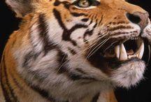 Too Rare Tigers