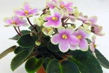 AFRICAN VIOLETS MINI AND SUPER MINI / by Dale C..