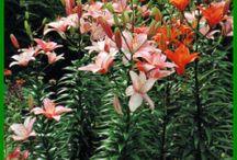 Zwiebelblumen