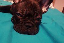 My French Bulldog ❤LOKI❤