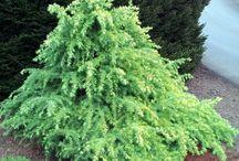 Conifers / Garden worthy conifers