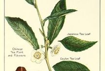 THAT'S TEA / The history of tea. Tea and the families of all the other info on the classic Camellia Sinensis.