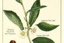 Tea Plant Anatomy