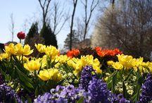 Spring flowers / Violas, pansies and bulbs