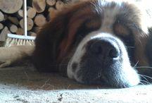 Saint Bernard dog_Monty / Monty the saint bernard dog