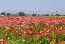 Flower Festivals Saitama