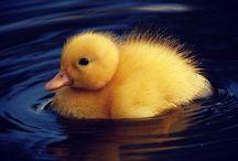 Ducks are my world