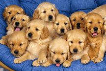 Golden Retriever / Collection of photos, memes and everything about these adorable creatures.