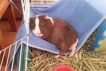 Guinea pigs ❤️