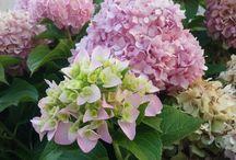 Flowers / Oblíbené květiny - hortenzie