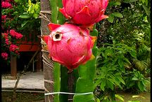 dragon fruit cactus
