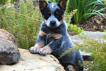 Love is a cattle dog