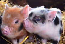 Piggielets