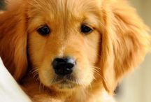 golden retriever / Honden