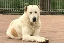 Kutyáim / Turkmen bloodline