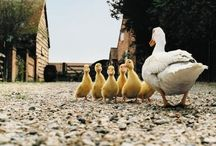 All about our duckies