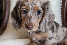 daschund dapple long hair
