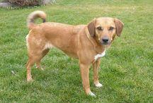 Austrian Pinscher / Austrian Pinscher dog breed pictures