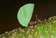 Leaf Cutter Ants & Fungus