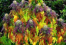 Marijuana / by nokristo
