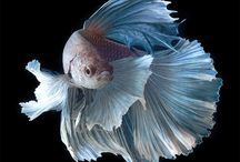Betta Splendens - Siamese Fighting Fish