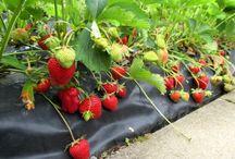 Planter des fraisiers sans entretien sur bache / Les amateurs de jardinage connaissent bien la technique du paillage qui consiste à étendre, en bordure des plants, une couche d'un matériau naturel ou synthétique à même le sol. (bâche noire ou blanche, nylon, film de paillage agricole)