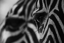 Zebra Obsessed / by Laura Brown