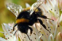 Pollinator/Bee Garden
