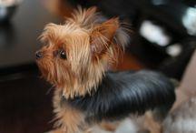 Yorkie / Yorkshire terrier