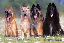 Dogs / / Belgian Shepherds