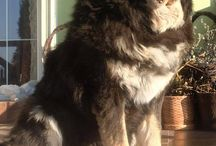 KANDA - Queen of Tibetan Mastiffs