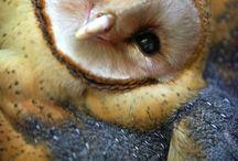 My Cute Owls