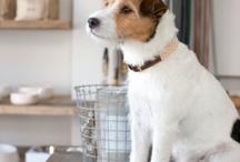 chiens (jack russel terrier)