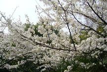 Sakura / by 勇 艾