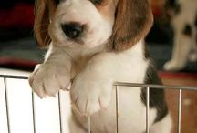 For the Love of Beagles / Cute pictures and gift ideas for Beagles