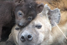 hyenas!!